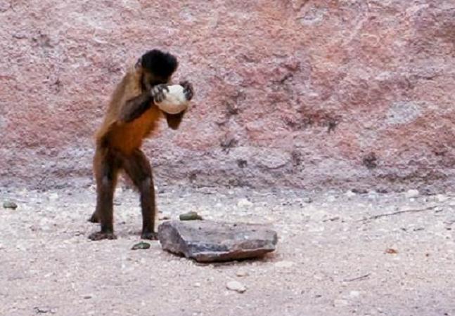 Há 700 anos, macacos prego usavam ferramentas no Piauí