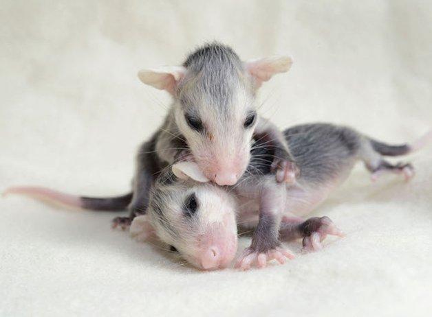OpossumsFourWeeksOldcopy