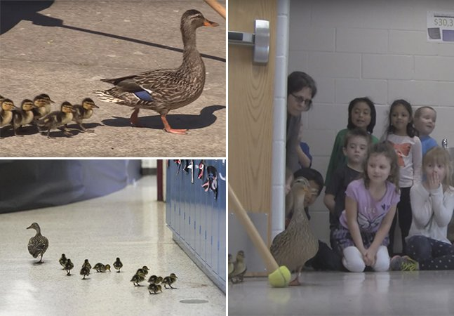 A escola que para e fecha seus corredores pra deixar passar essa linda família de patos