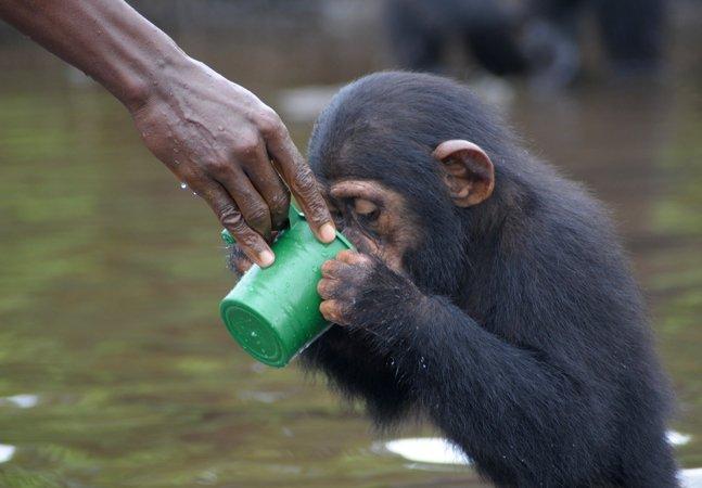 Casal de veterinários embarca em jornada para salvar chimpanzés infectados abandonados por laboratório