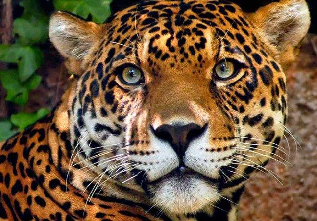 Polícia do Pará prende caçador que matou mais de uma dezena de onças