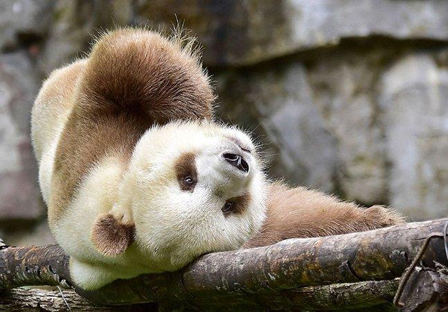 Conheça Qizai, o único panda marrom vivo do mundo