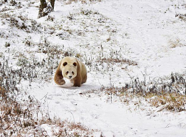 abandoned-brown-panda-qizai-12