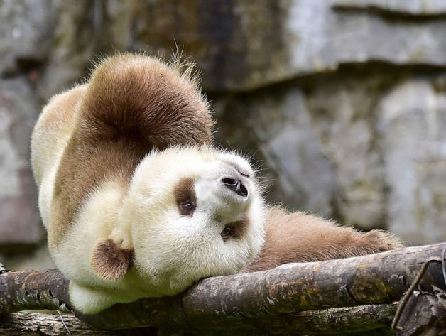 abandoned-brown-panda-qizai-13
