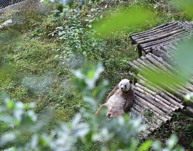 abandoned-brown-panda-qizai-6