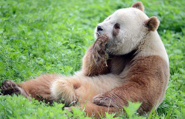 abandoned-brown-panda-qizai-8