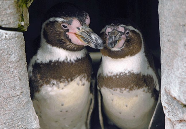 Casal de pinguins gays com filhote adotivo comemora 10 anos de união