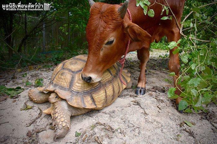 tortoisecow3
