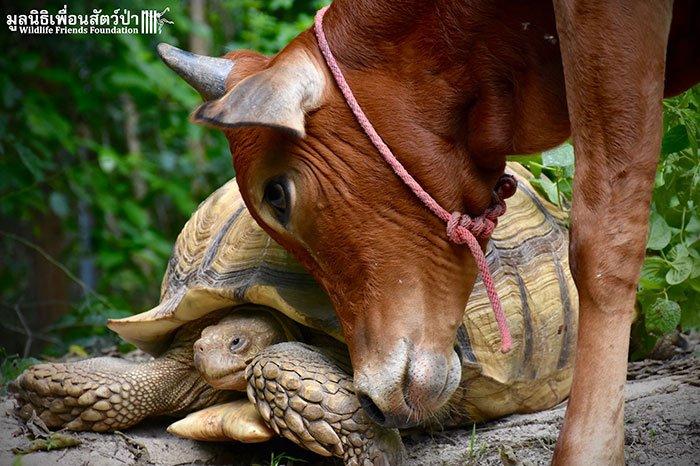 tortoisecow4