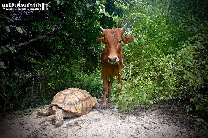 tortoisecow5