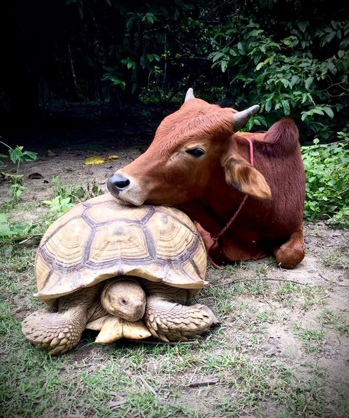 tortoisecow7