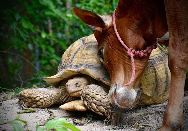 Tartaruga gigante e filhote de vaca que perdeu uma perna viram melhores amigos e passam a fazer tudo juntos