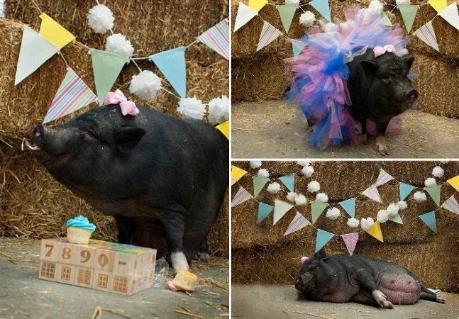 O 'book de grávida' desta porquinha prenha lembra que todos os animais devem ser amados
