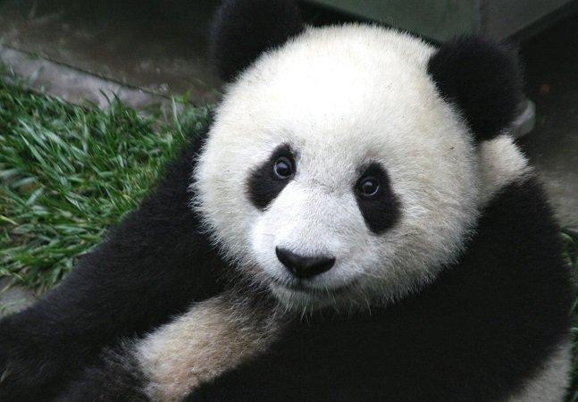 """A China precisa de """"abraçadores profissionais de pandas"""" e isso é muito maravilhoso"""