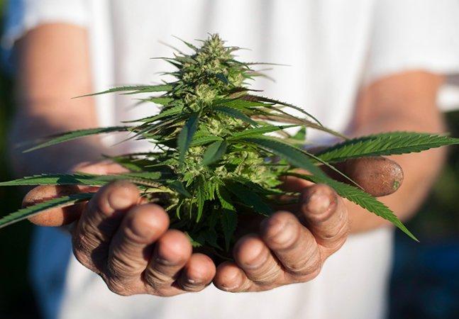 Universidade canadense vai abrir curso sobre cultivo de maconha