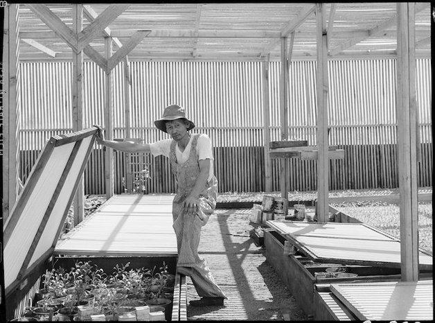 Manzanar Relocation Center, Manzanar, California. Guayule beds i