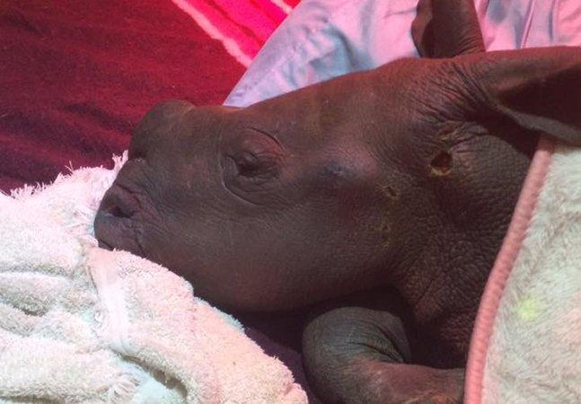 Voluntários cosem maravilhosos cobertores para manter rinocerontes resgatados aquecidos