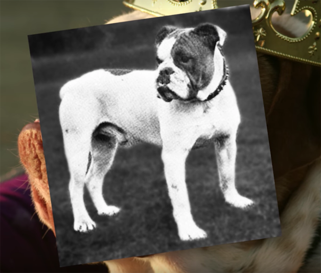 """Buldogue, o """"rei"""" das doenças genéticas - e a diferença de um buldogue de cem anos atrás"""