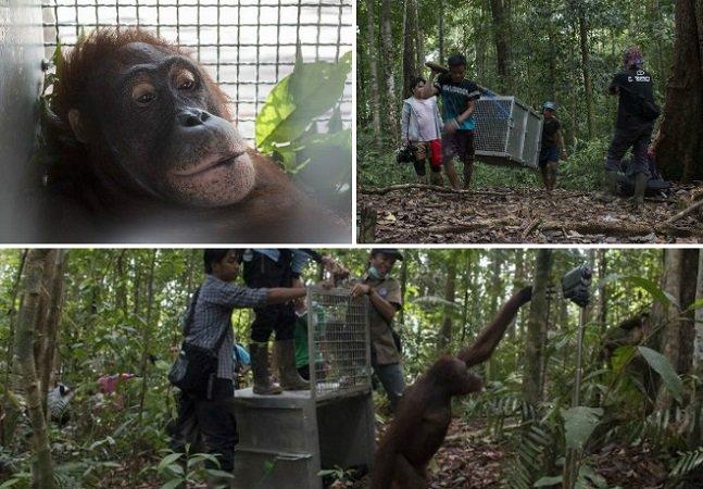 O momento em que orangotangos roubados da mãe quando pequenos voltam para a natureza