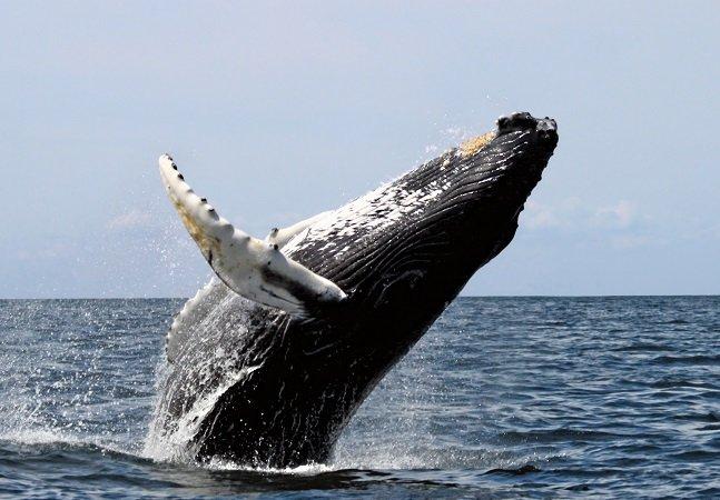 Adeus shows aquáticos: o mundo terá enfim seu primeiro santuário de baleias