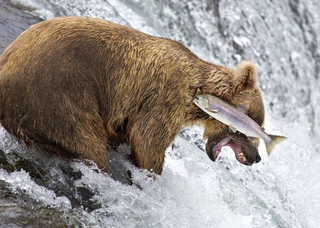 edit_grizzly-bear-fail-rob-kroenert