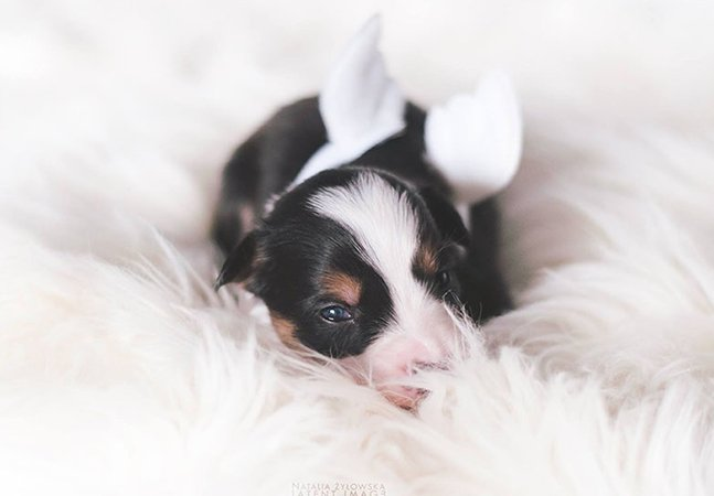 Esse ensaio de filhotes de cachorro com asas (!) é a coisa mais bonita que você vai ver hoje