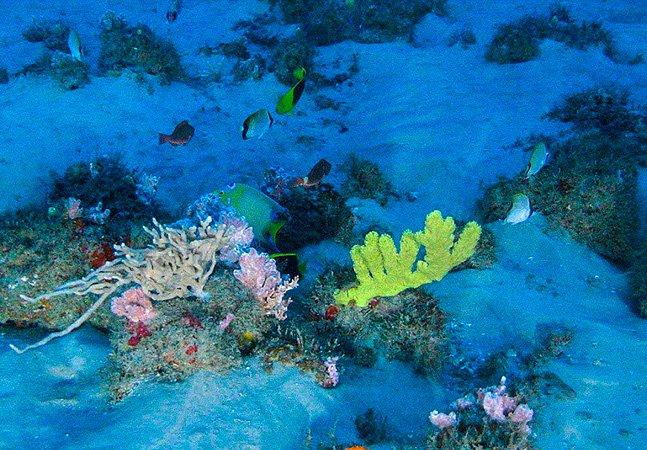 Greenpeace divulga primeiras fotos de corais do Rio Amazonas, bioma único no mundo