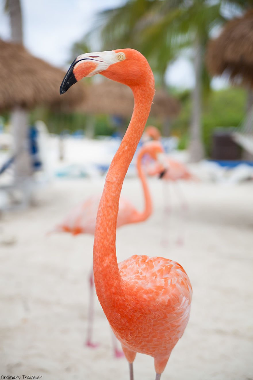 This-Beach-in-Aruba-is-Full-of-Friendly-Pink-Flamingos-57b2afc29be3a__880