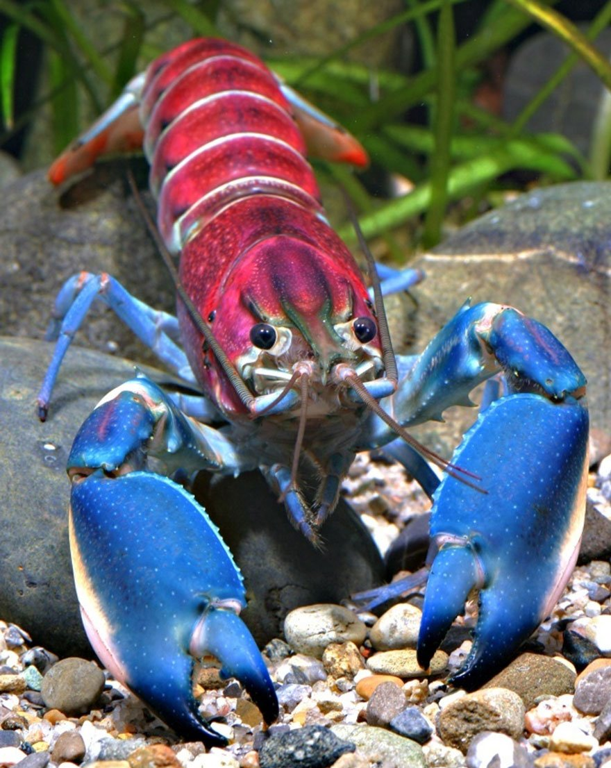 new-crayfish-species-discovered-cherax-pulcher-christian-lukhaup-indonesia-1