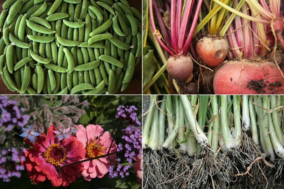 09-peas-flowers-beets-onions