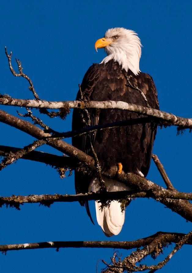 A águia careca