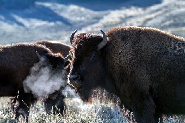 Yellowstone National Park Usa Wyoming Bison