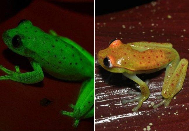 O primeiro anfíbio fluorescente do mundo foi descoberto e é maravilhoso