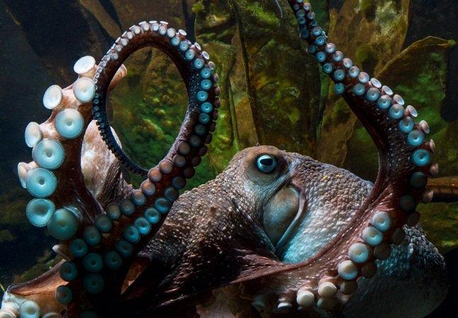 O incrível desfecho da fuga de Inky, polvo que escapou do aquário e andou até saída de esgoto rumo ao mar