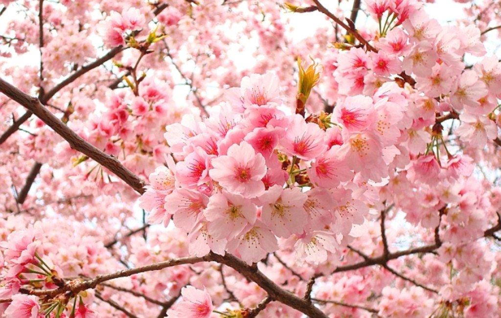 Sakuras_nihon_no_sekai-2-1024x650
