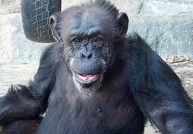 Primeira chimpanzé libertada de zoológico por habeas corpus chega ao Brasil para viver em santuário