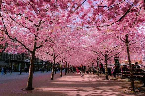cherry-blossoms-sakura-spring-1-588x391