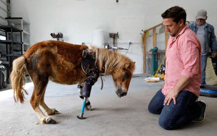 mini-horse-amputee-gets-prosthetic-leg-angel-marie-2