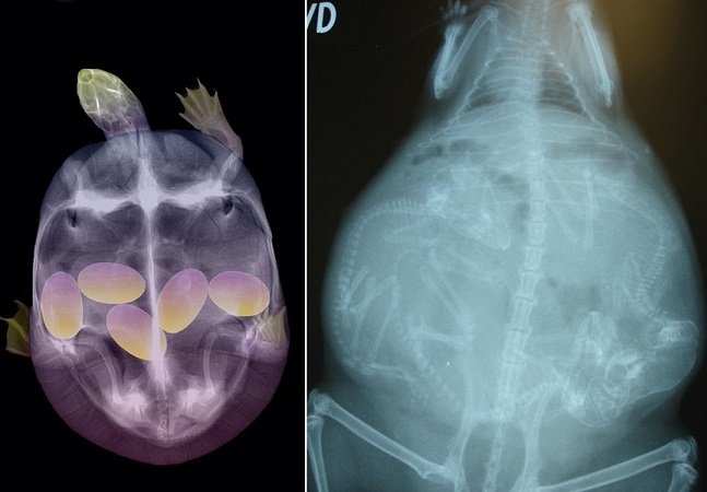 Raios X mostram filhotes de animais diversos ainda no útero de suas mães