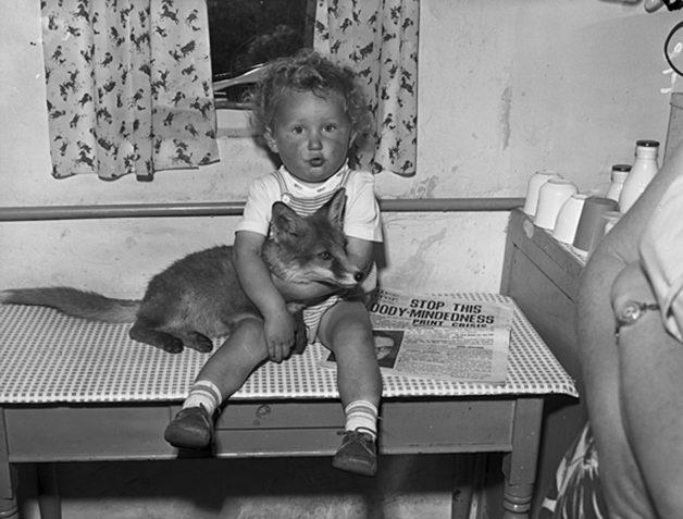 A-tame-fox-cub-at-home-2