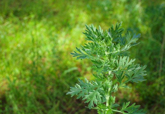 A erva usada pela medicina chinesa há 1700 anos que está salvando pacientes com malária na África