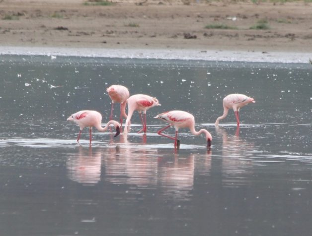 flamingo-pequeno