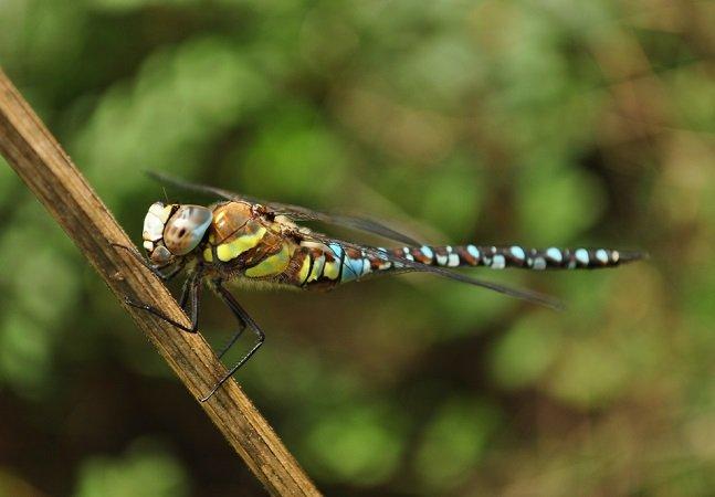 As fêmeas dessa espécie de inseto se fingem de mortas para não ser assediadas pelos machos