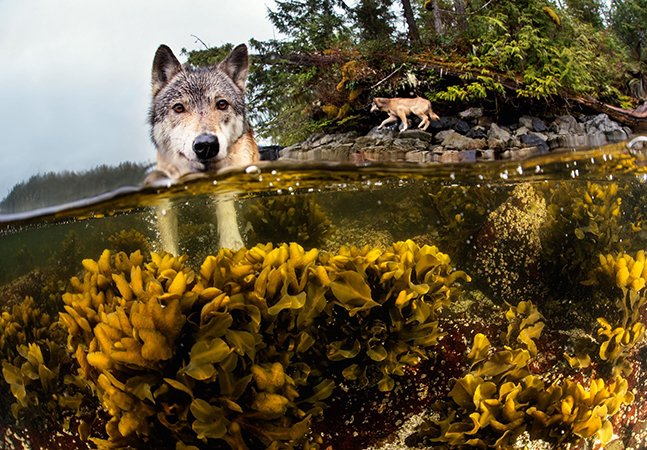 Os incríveis 'lobos marítimos' capazes de nadar quilômetros e comer frutos do mar