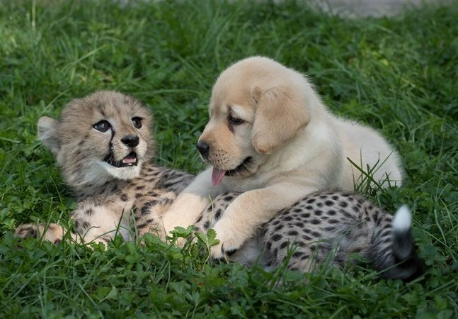 Como cachorros estão ajudando as tímidas chitas a viver melhor  tanto em zoos como em liberdade
