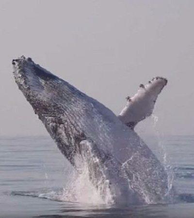 Vídeo registra o show de uma baleia com mais de 40 toneladas saltando na água