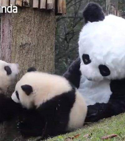 O emprego onde você pode se vestir de panda para abraçar pandas de verdade
