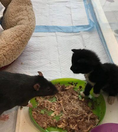 Como ratos estão ajudando a cuidar de filhotes de gato recém-nascidos