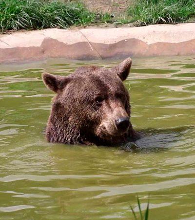 Após uma vida de maus tratos, veja a felicidade deste urso ao nadar pela primeira vez