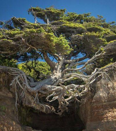 Estas árvores que se recusam a morrer são um lembrete da força da natureza
